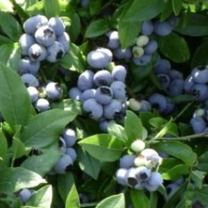 bluecrop1_450x450