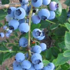 bluegold1_450x450