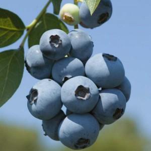 brigitta-blue_450x450